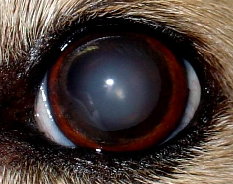 Small Film On Dog S Eye Means