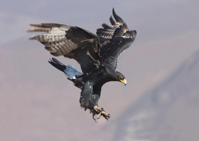 Rules of the Jungle: Black Eagle