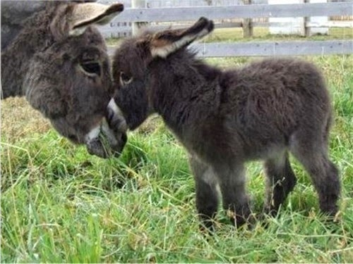 http://vi.sualize.us/cute_baby_cute_donkey_animals_animal_picture_7xFy.html