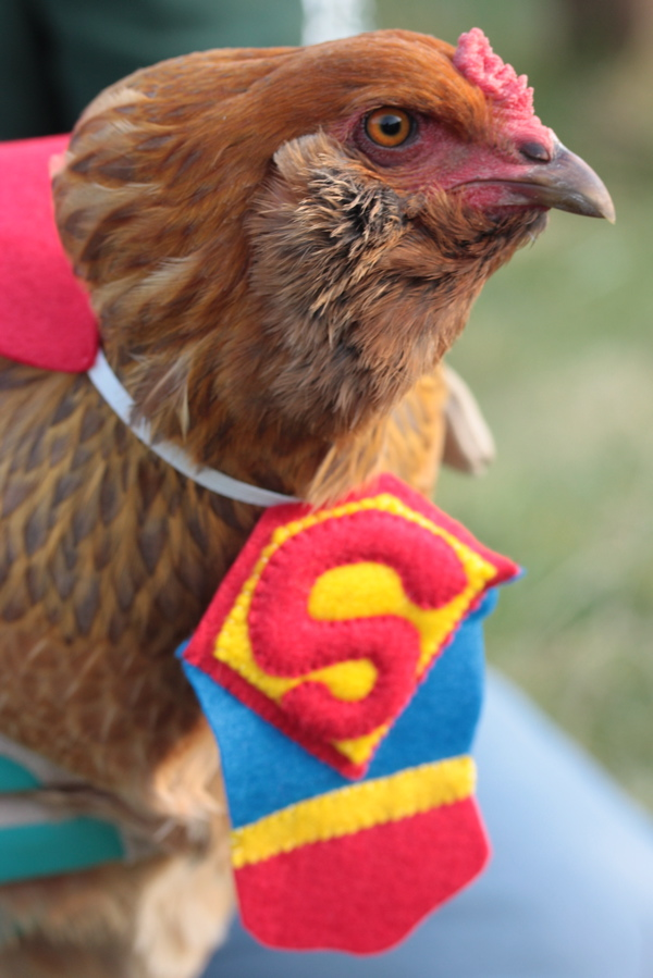 Chickens in tiny costumes Halloween Fun & Ba-Gawks: Chickens in tiny costumes: Halloween Fun