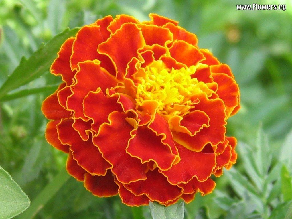 Flower Facts Flower Blog