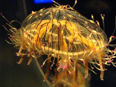 Những loài sứa đẹp