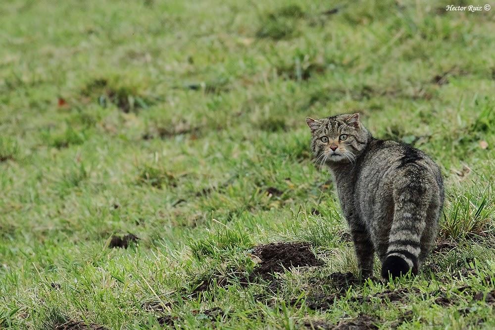 Proyecto Gato Montés (Wildcat project)