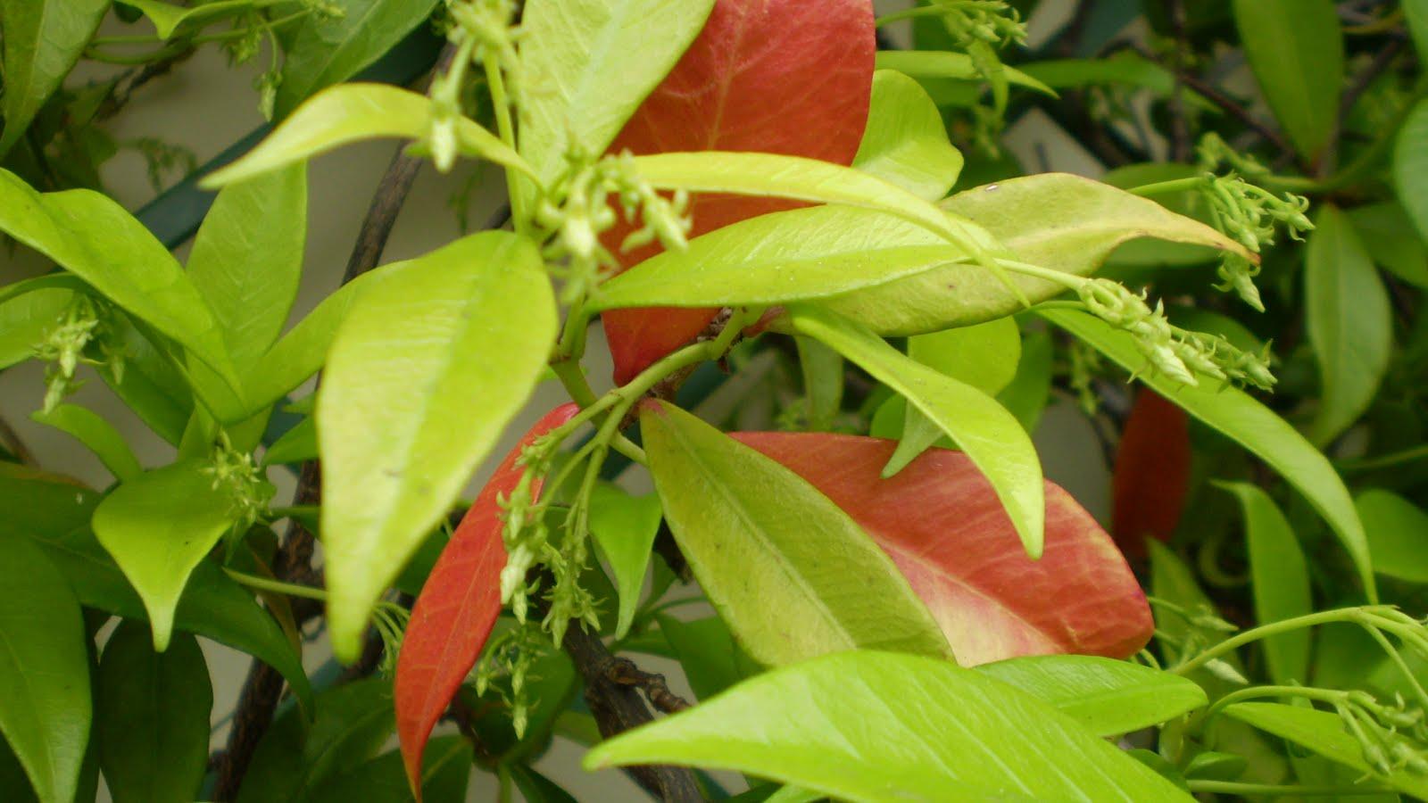 EL JARDINERO URBANO: Trachelospermum jasminoides, Jazmín estrellado ...