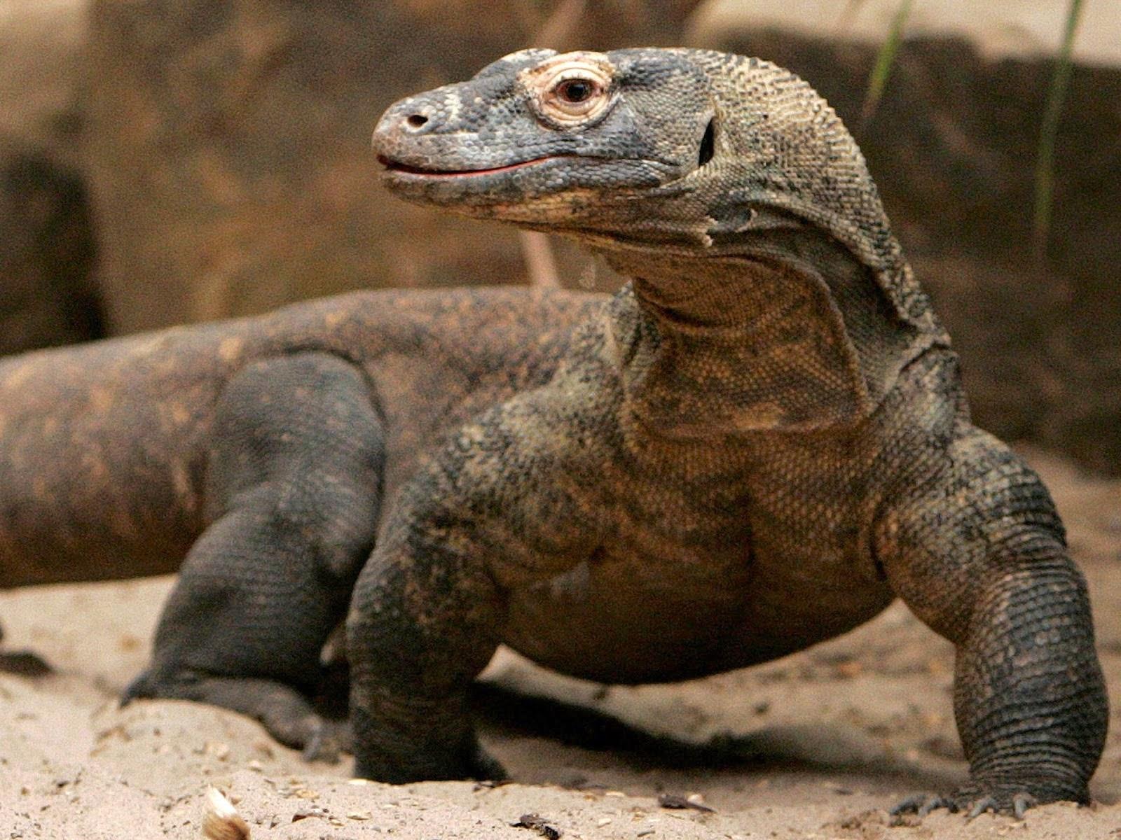 Komodo, hewan endemik di Indonesia