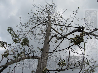 Kuncup Bunga Pohon Kapuk Randu