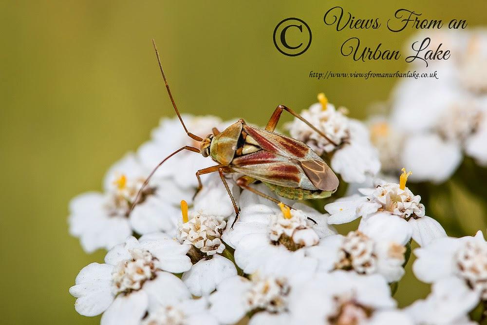 Calocoris Roseomaculatus - Tring Park, Herts
