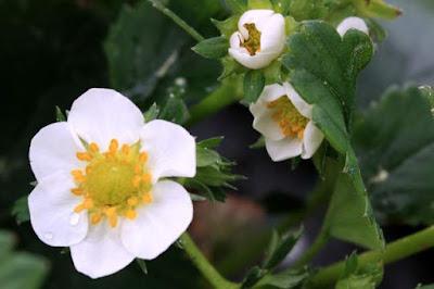 mansikka kukkii