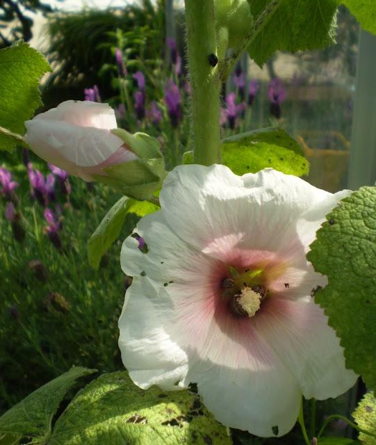 Le jardin du vent 2011 - Semer roses tremieres septembre ...
