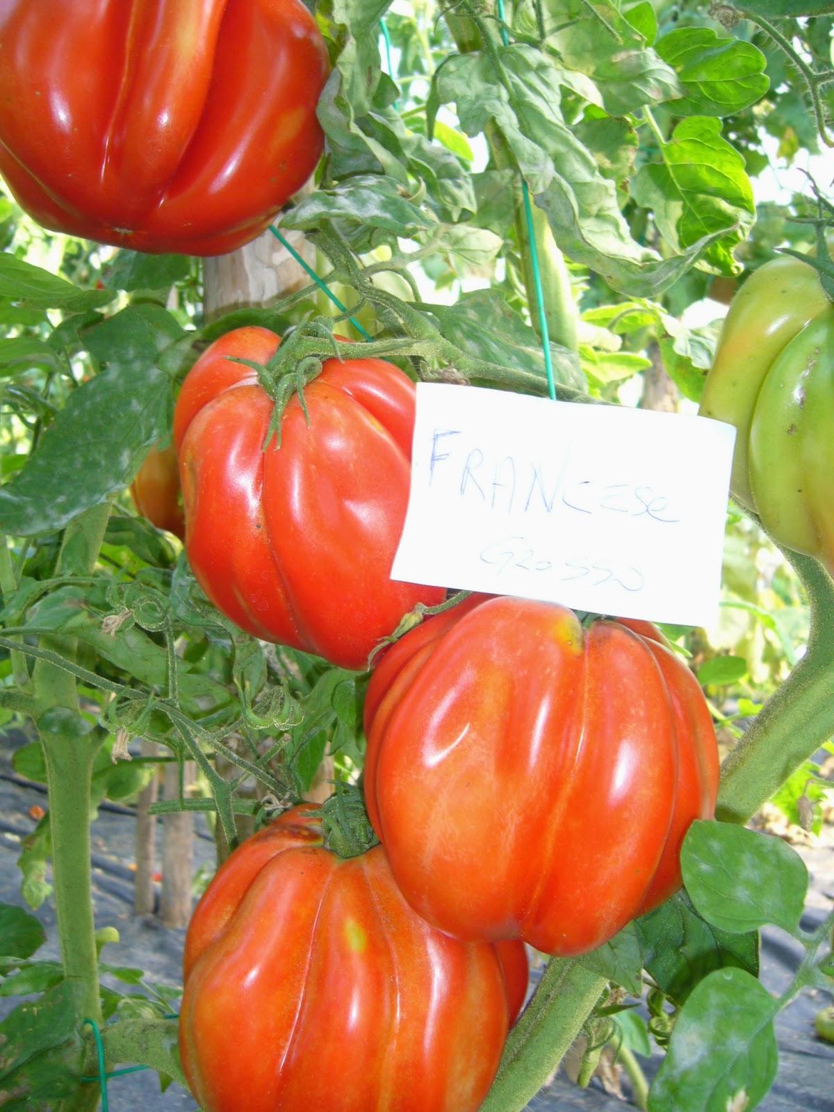 10 melanzane türkish ARANCIONE semi pomodori