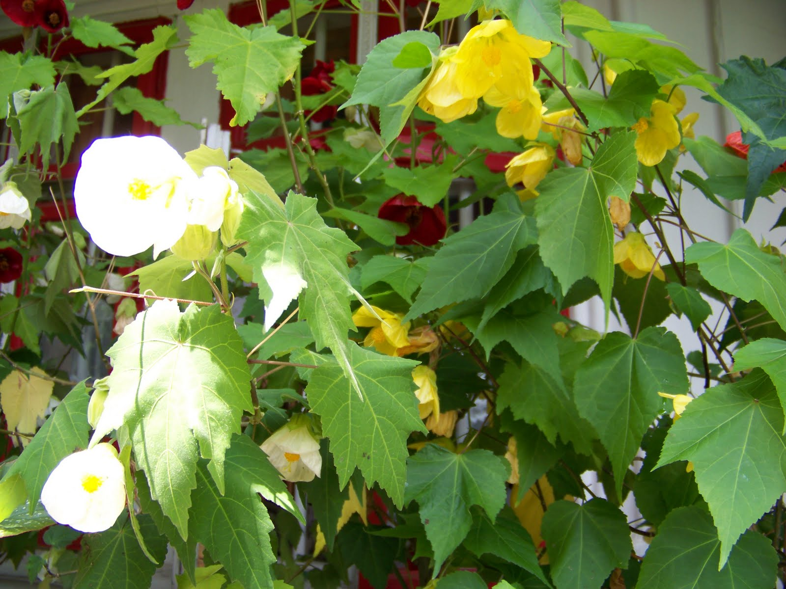 magic garden abutilon artar de camera alb si galben. Black Bedroom Furniture Sets. Home Design Ideas