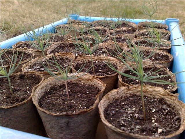 Как вырастить елки из семян в домашних