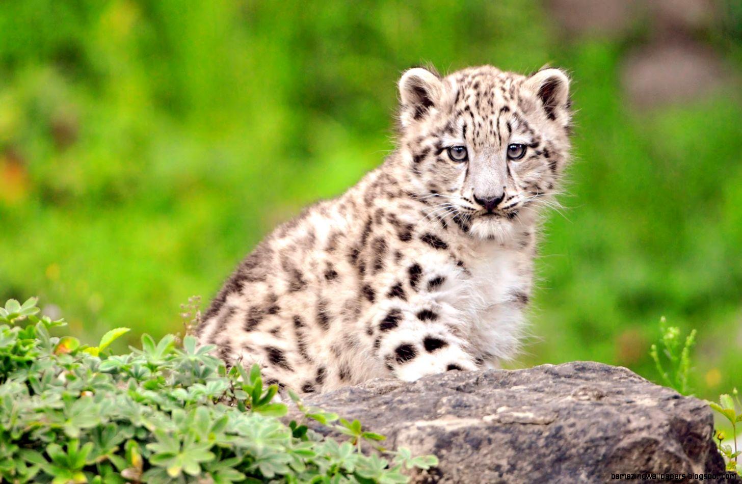 Baby White Tiger Wallpaper 6773759