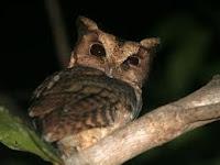 Celepuk Siau (Otus siaoensis)