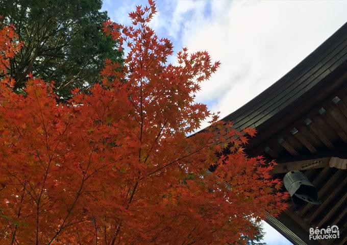 Erables japonais, momiji