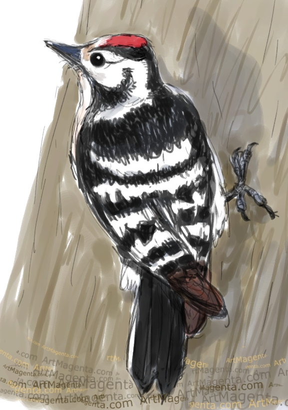 Lesser Spotted Woodpecker sketch painting. Bird art drawing by illustrator Artmagenta