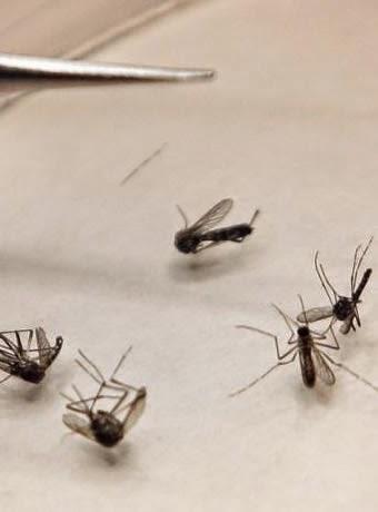 contagio del Virus Chikungunya