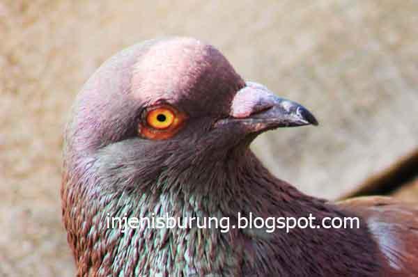 Mata - jenis burung merpati tinggian yang bagus