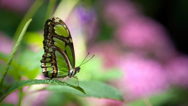 Green Butterfly Beautiful Images Full HD