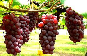 http://ketikwww.blogspot.com/2013/06/manfaat-buah-anggur.html