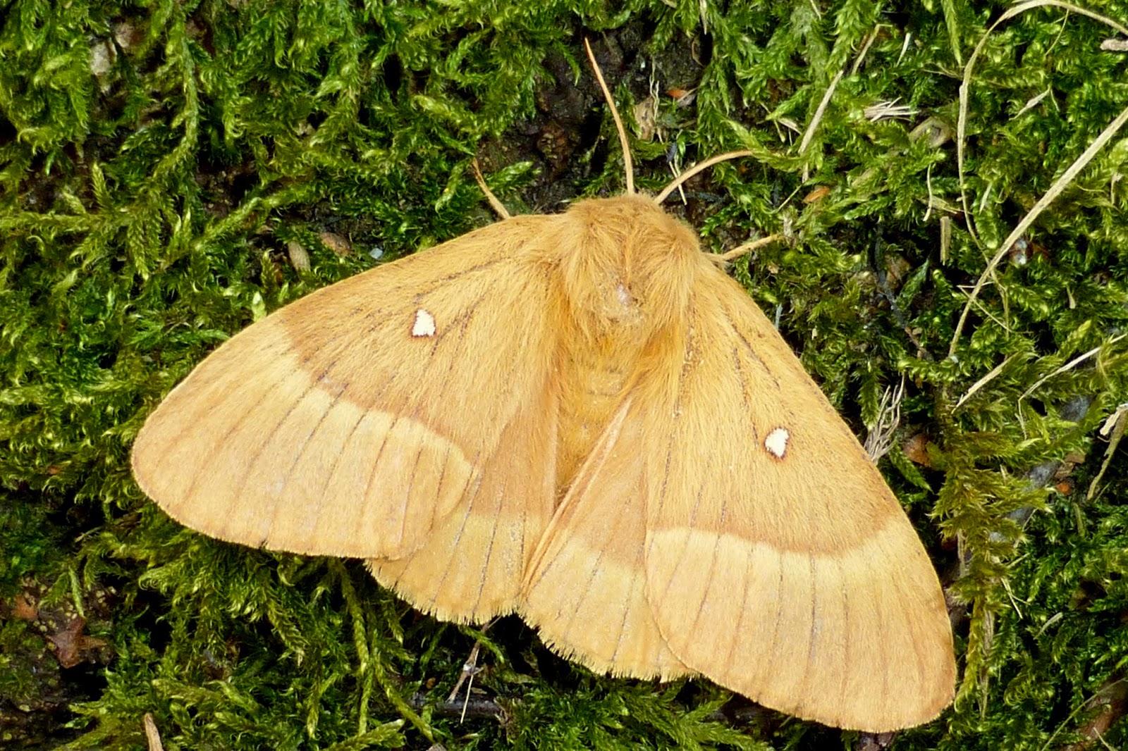 Lasiocampa quercus female