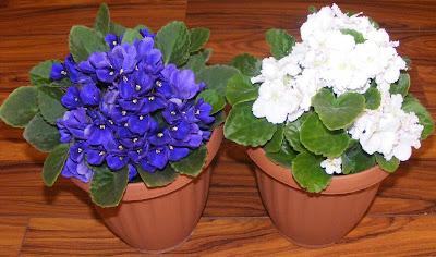 violete de parma, violeta de parma, violete africane, flori de apartament, flori decorative, cum se ingrijesc si inmultesc violetele de parma,  violete de parma albe, violete de parma mov si mov inchis, violete de parma roz si albastru, violete de parma grena, violete, ingrijirea florilor, plantarea florilor in ghivece,