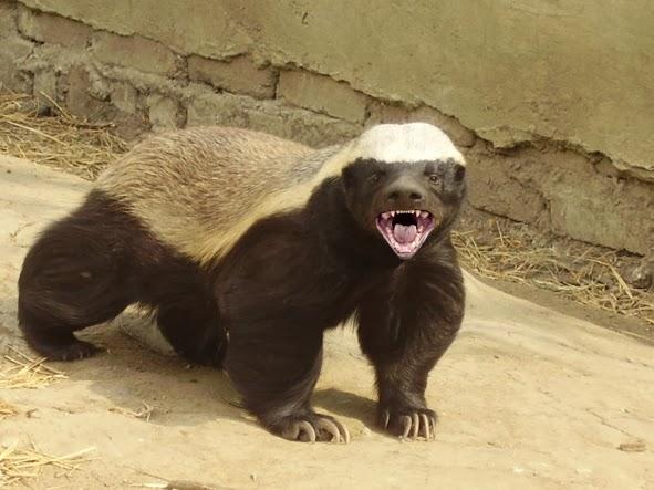 Veja um dos animais mais ferozes do mundo em ação