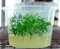 Kultur jaringan tanaman atau tumbuhan