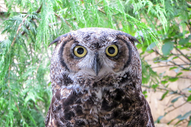 A Recovering Owl at the Alaska Rainforest Sanctuary