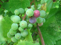 Grapes and grapevine. Photo property of Carla Cooper and / or Worship Melodies. All copyrights claimed