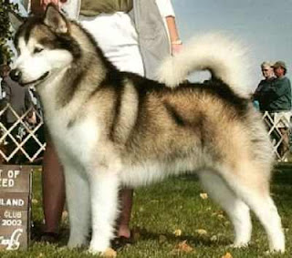 beautiful Siberian Husky dog breed photo with white and brown color free puppy dog breeds download