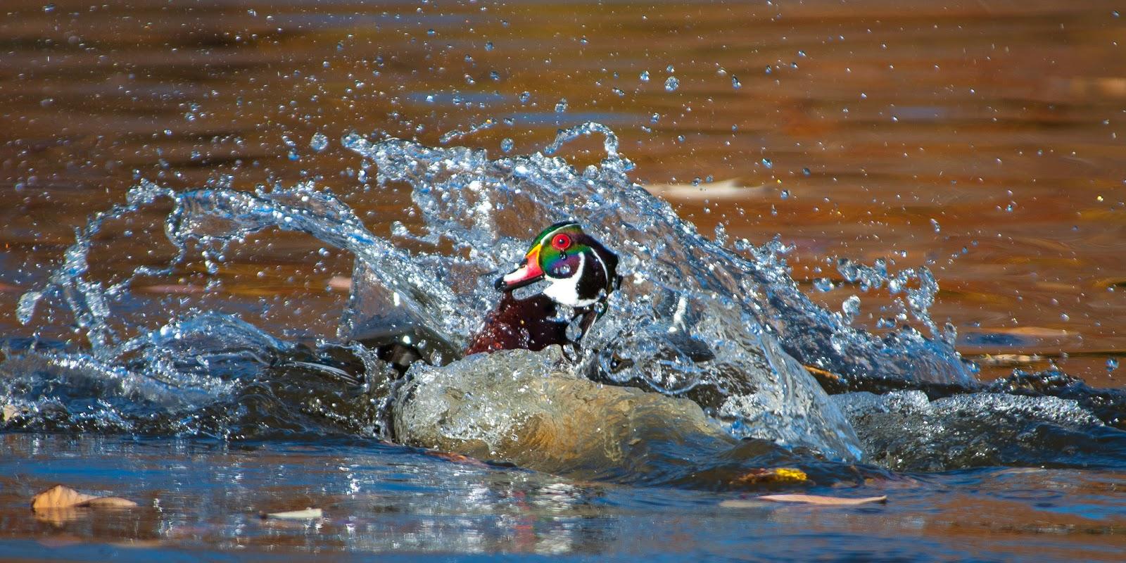 Wood Ducks at Sterne Park