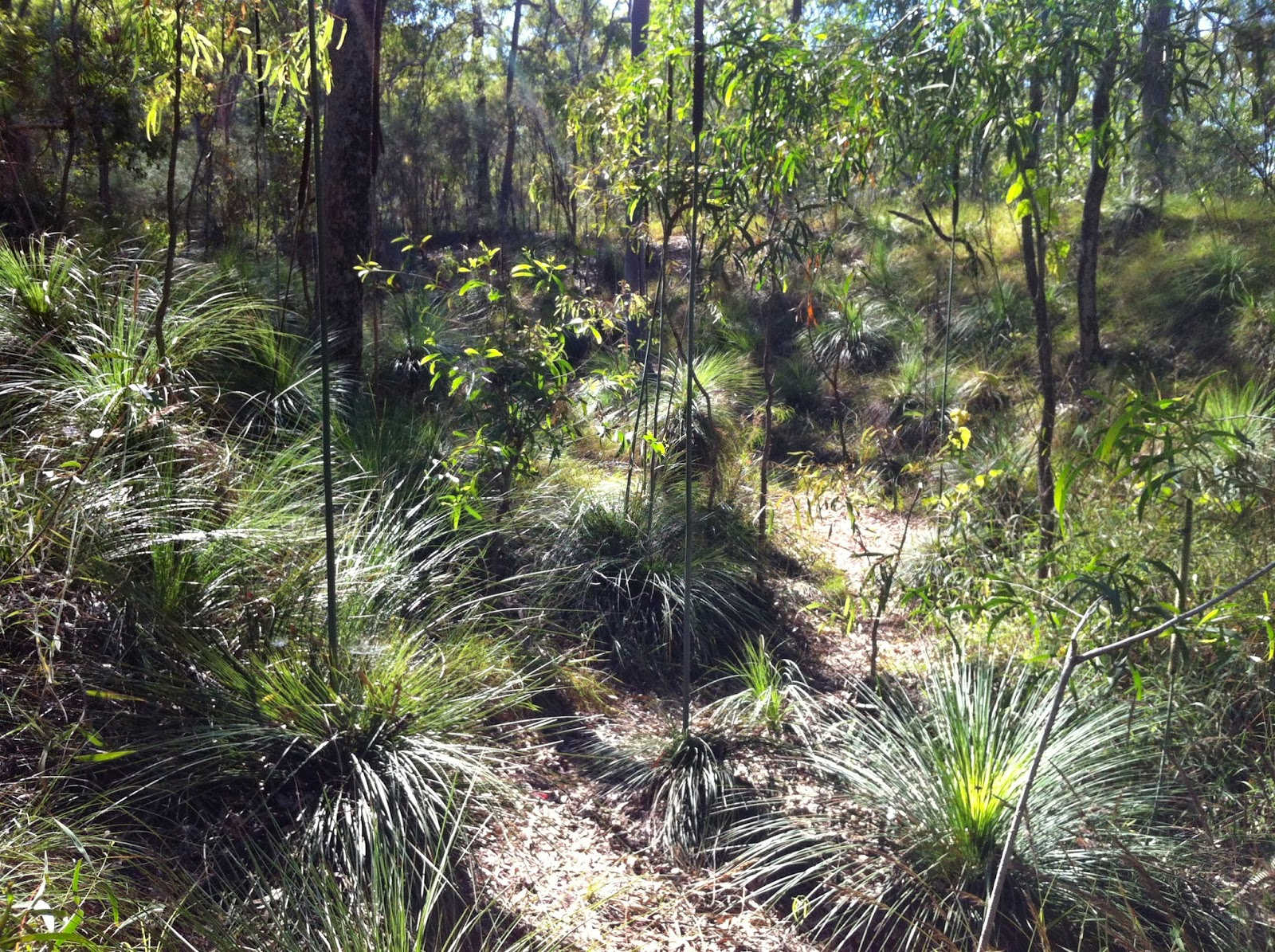 100 year old Grass Trees in flower