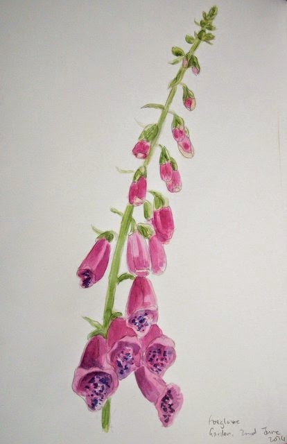 Foxglove watercolour study