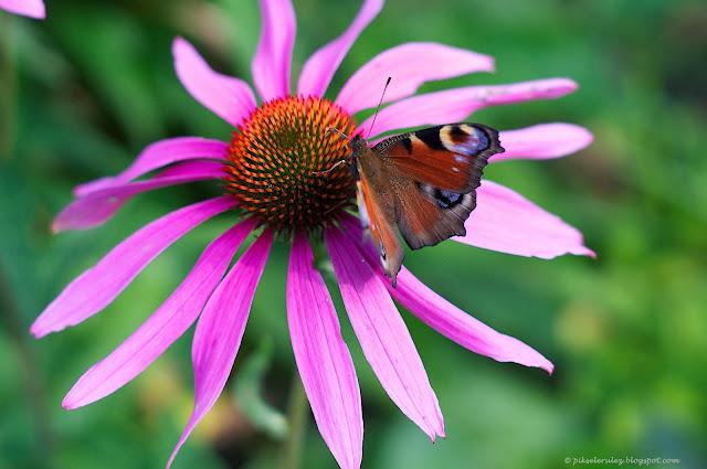 echinacea purpurea, jeżówka pospolita, kwiat, foto, kolor, motyl