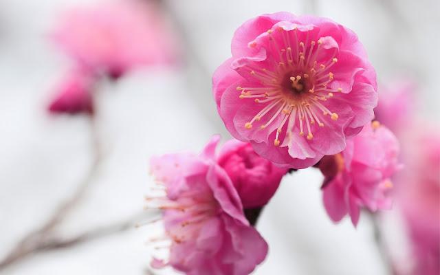Flores Albaricoque ó Chabacano