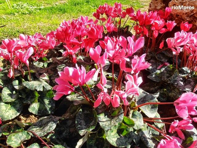 ciclamen cyclamen hederifolium plantas riomoros. Black Bedroom Furniture Sets. Home Design Ideas