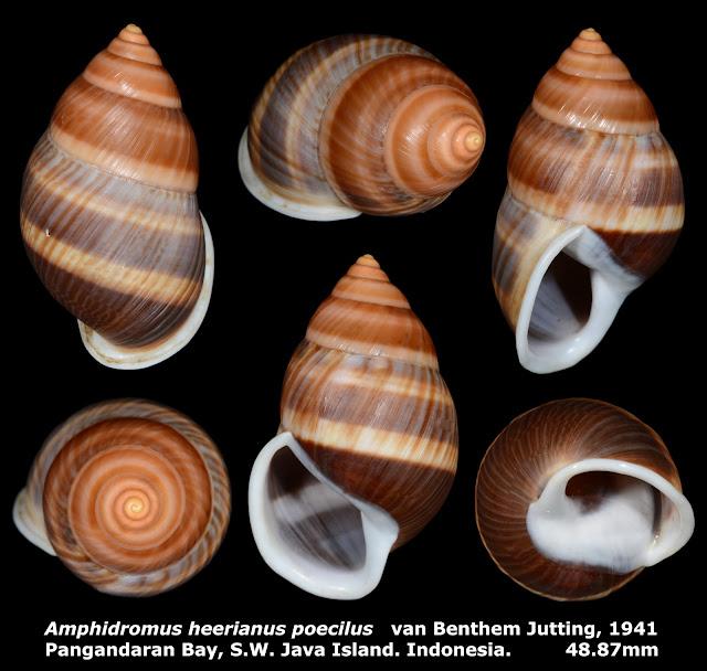 Amphidromus heerianus poecilus 48.87mm