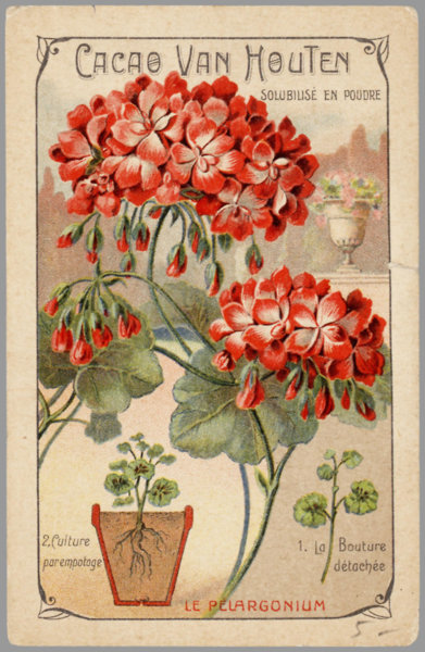how to make geraniums bloom