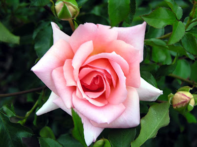 Rose  Flower's Very Beautiful Image