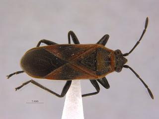 Hemiptera, Lygaeidae, Arocatus longiceps, true bug