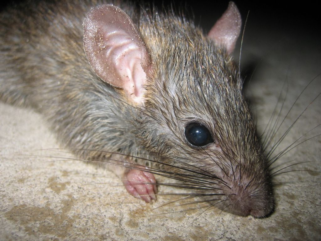 diseases carried by rats