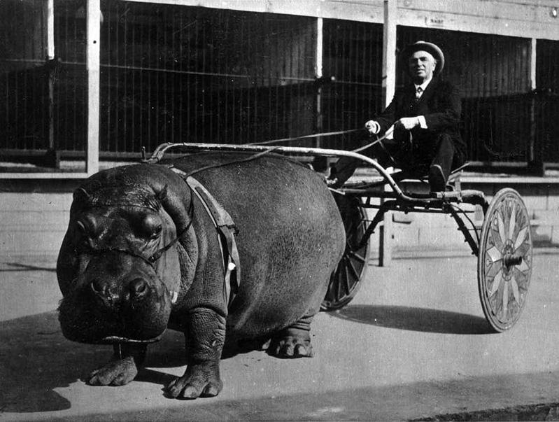 foto antiga de um homem andando em uma carruagem guiada por um hipopotamo enorme