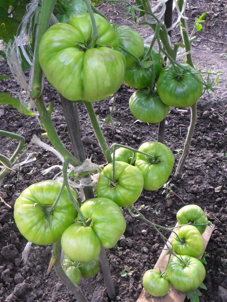 Завязь помидоров