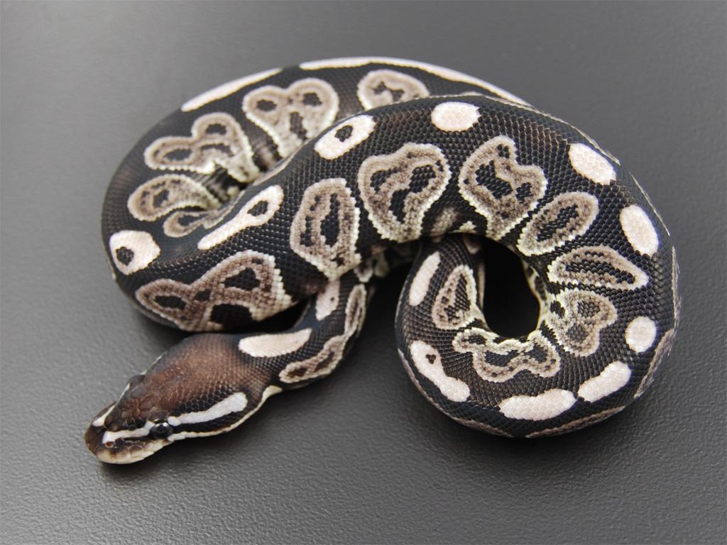 Pastel Ball Python Black pastel ball python