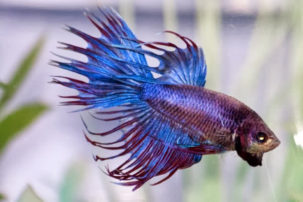 betta fish betta splendens tropical fish