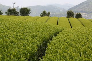 The bright fields of first flush tea leaves wait under a cloudy sky to be picked and made into Temomi Shincha, a special handmade Japanese green tea