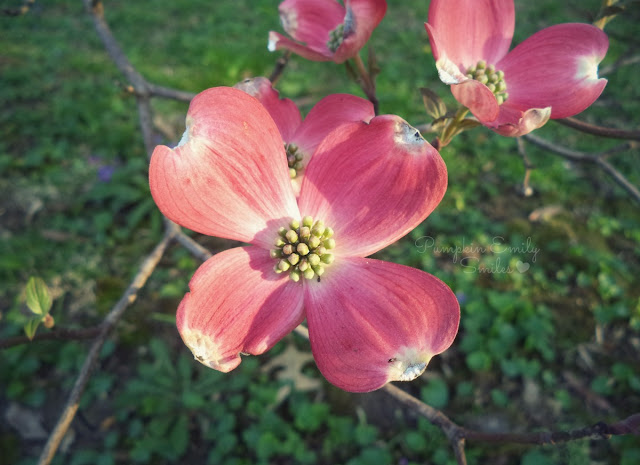 Pink flowers from a Dogwood Tree