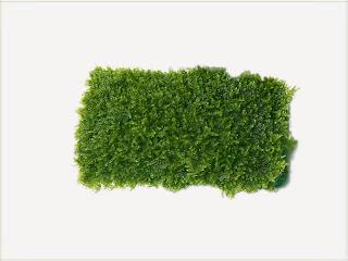 gambar-Fontypinalis-Antipyretica-Willow Moss-tanaman-Moss-aquascape