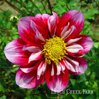 Collarette dahlia Double Trouble